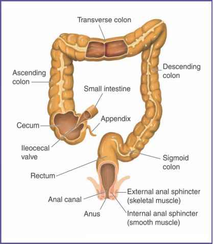Large Intestine Anatomy And Digestion - Digestion and Nutrition