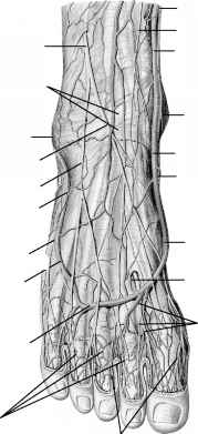 Medial Sural Cutaneous Nerve
