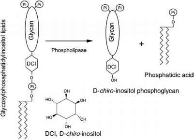 Phospholipase Insulin
