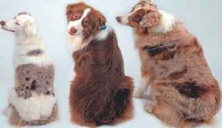 Canine SINEs and Their Effects on Phenotypes of the Domestic - Genomics and Disease
