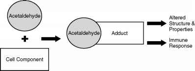Acetadehyde Protein Adduct Formation