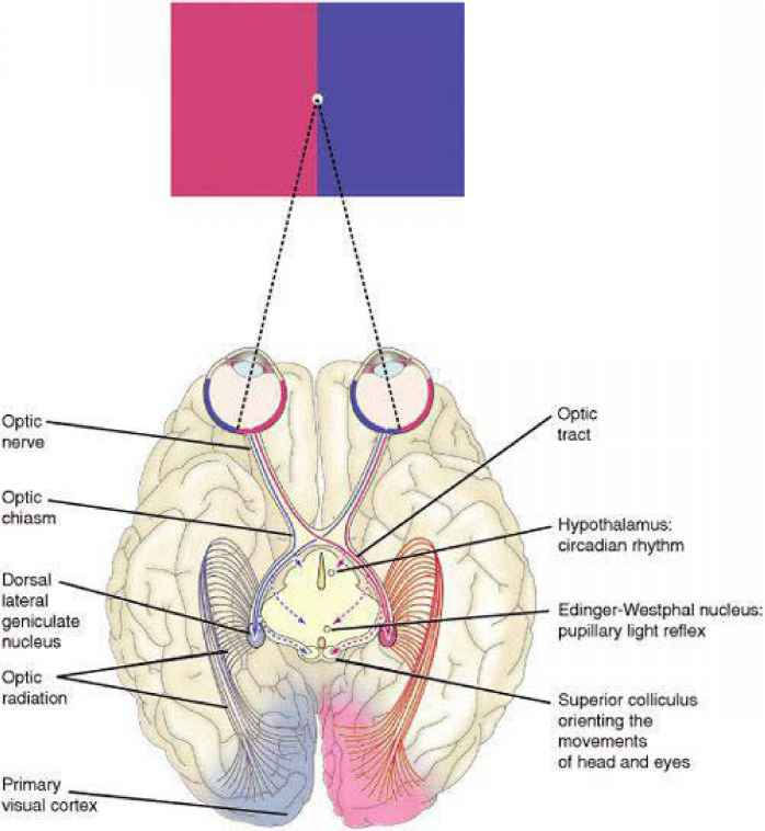 Neuro Ophthalmology Visual Path