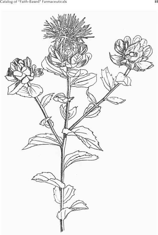 Safflower Plant Drawing