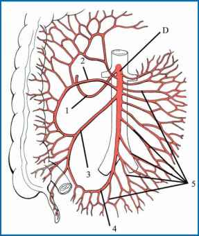 Normal Superior Mesenteric Artery