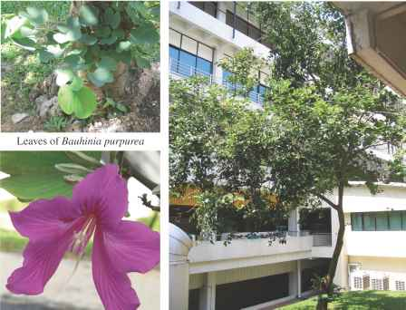Bauhinia Purpurea Side Effects