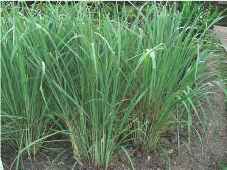 Herbal Plant For Gonorrhoea