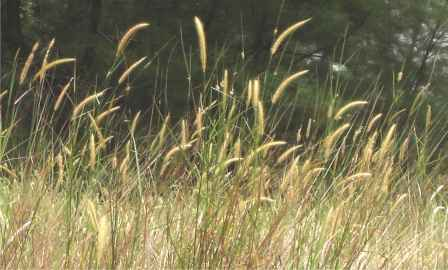 Spear Grass Imperata Cylindrica
