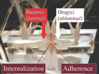 Enteric Nerves Catecholamines and IECBacteria Interactions